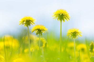 Dandelion Herb Benefits