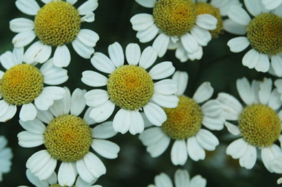 Health Benefits of Feverfew Herb